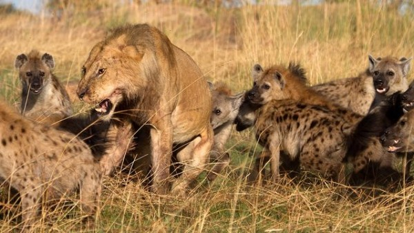 Clan Of Hyenas Attack Lone Lion And Steal Its Prey