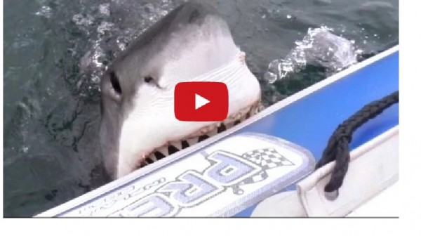 the great white shark should be protected as it is an important part of the sea world Kids learn about the great white shark, king of sea the shark is considered vulnerable on the endangered list and is protected in some areas great world.
