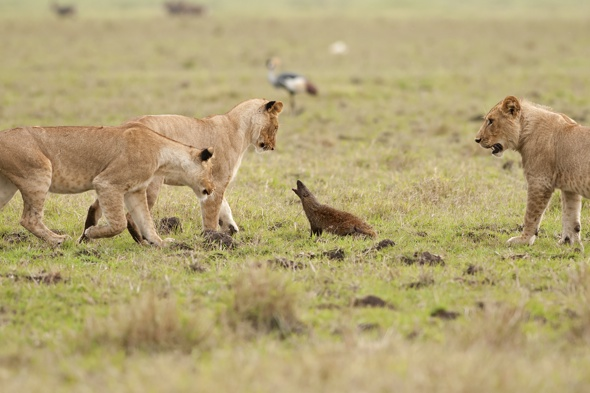 Brave Mongoose Stands Its Ground Against A Pride Of Lions
