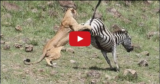 lion | Beauty of Planet Earth